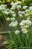 Garlic (or Chinese) chives