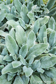 """Lamb's Ear, a non-flowering ground cover growing in Bellevue, Washington, USA. This herbaceous perennial is easily grown in average, dry to medium, well-drained soils in full sun.  It is grown primarily for its thick, soft, velvety, silvery leaves which typically form a rapidly spreading mat approximately 4-6"""" off the ground."""