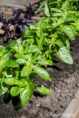 Dolce Fresca basil plants growing