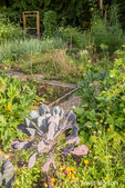 Community garden scenic with Mammoth Red Rock cabbage growing in the foreground.  It is an heirloom variety.