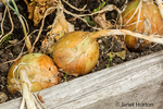 Common sweet yellow onions ready to be harvested