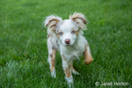 "Mini Australian Shepherd puppy ""Flynn"" playing in his yard"