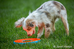 "Mini Australian Shepherd puppy ""Flynn"" about to grab his frisbee, which is casting an orange reflection on his face, in his yard"