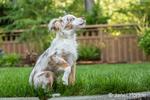 "Mini Australian Shepherd puppy ""Flynn"" playing in his yard"