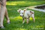 "Mini Australian Shepherd puppy ""Flynn"" playing in his yard with his owner"