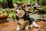 Tucker, a six month old Corgi puppy, posing on his wooden deck