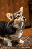 Tucker, a six month old Corgi puppy, posing on a lawn chair