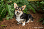 Tucker, a six month old Corgi puppy, posing in front of Western Sword Fern in his yard