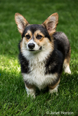 Tucker, a six month old Corgi puppy, posing on his lawn