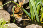 Tucker, a six month old Corgi puppy, drinking from a small pond in his yard