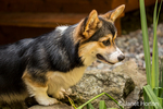 Tucker, a six month old Corgi puppy, intently watching koi in a small pond in his yard, in Issaquah, Washington, USA