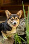 Tucker, a six month old Corgi puppy, standing on the edge of a small pond in his yard