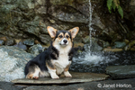 Tucker, a six month old Corgi puppy, posing in front of a waterfall in his yard
