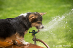 Tucker, a six month old Corgi puppy, trying to drink from the lawn sprinkler, getting all wet in the process