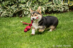 Tucker, a six month old Corgi puppy, fetching his toy that had just been thrown for him