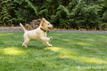 "Golden Retriever puppy ""Ivy"" running in his yard"