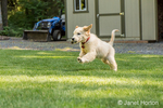 "Golden Retriever puppy ""Ivy"" running in his yard carrying some debris in his mouth"
