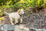 "Golden Retriever puppy ""Ivy"" running on top of a retaining wall"