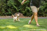 "Golden Retriever puppy ""Ivy"" following his owner running across the lawn"