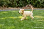 "Golden Retriever puppy ""Ivy"" walking across his lawn"