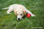 "Golden Retriever puppy ""Ivy"" resting on his lawn after a romp with his chew toy"