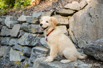 "Golden Retriever puppy ""Ivy"" demonstrating the ""sit"" command on stone steps"