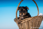 Teacup Yorkshire Terrier puppy sitting in a small basket in a studio setting