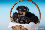 Three Teacup Yorkshire Terrier puppies sitting in a small basket in a studio setting