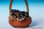Two Teacup Yorkshire Terrier puppies sitting in a small basket in a studio setting