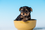 Yorkshire Terrier puppy sitting in a small bowl in a studio setting