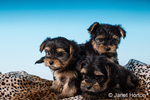 Three Yorkshire Terrier puppies, sometimes called Teacup Yorkies, in a studio setting