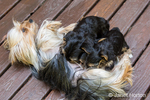 Three Teacup Yorkshire Terrier puppies nursing on a wooden deck