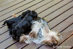 Three Teacup Yorkshire Terrier puppies nursing on a wooden deck in Issaquah, Washington, USA