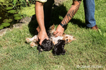 Man helping his three Teacup Yorkshire Terrier puppies to nurse from their mom outside on the lawn next to a pond