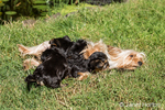 Two Teacup Yorkshire Terrier puppies nursing, and the mother licking a third puppy affectionately on a lawn
