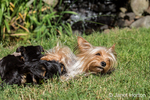 Three Teacup Yorkshire Terrier puppies nursing on the lawn next to a pond