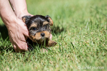 Man assisting his cute, tiny Yorkshire Terrier puppy who is experiencing his first trip outside on a lawn