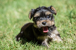 Cute tiny Yorkshire Terrier puppy experiencing his first trip outside on a lawn