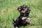 Funny, tiny Yorkshire Terrier puppy experiencing his first trip outside on a lawn