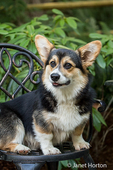 Tucker, a six month old Corgi puppy, sitting on a metal patio chair