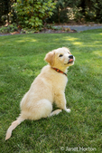 """Golden Retriever puppy """"Ivy"""" demonstrating the """"sit"""" command on his lawn"""