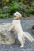 """Golden Retriever puppy """"Ivy"""" posing with his front paws on a large rock"""