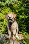 """Happy-looking Golden Retriever puppy """"Ivy"""" standing on a tree stump"""