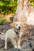 "Golden Retriever puppy ""Ivy"" standing atop a stone retaining wall"