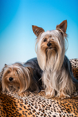 Male and female adult Teacup Yorkshire Terrier dogs in a studio setting.  The female weighs 2.5 pounds and the male 4 pounds.