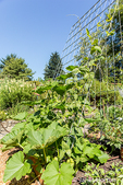 Chinese Yam or cinnamon-vine (Dioscorea polystachya) plant growing up a trellis in Bellevue, Washington, USA.