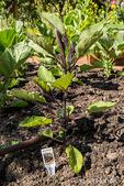 Millionaire eggplant growing in Bellevue, Washington, USA