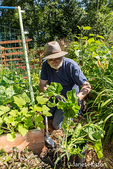 Man thinning Harvest Blend winter squash in Bellevue, Washington, USA