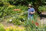 Man hand-watering his vegetable and flower garden in Bellevue, Washington, USA