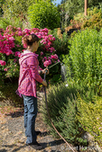 Woman hand watering roses and herbs growing in Bellevue, Washington, USA